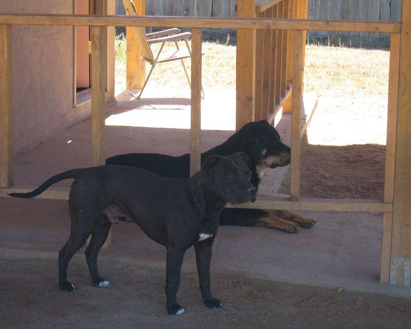Pueblo_dogs